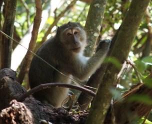 Singe dans le Khao Sok National Park