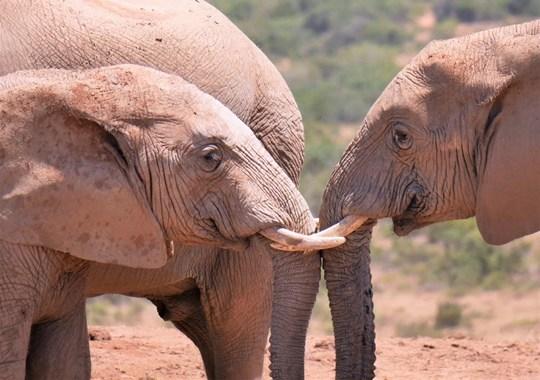 ADDO ELEPHANT PARK AFRIQUE DU SUD