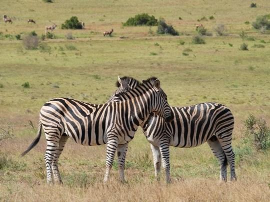 afrique du sud zebres