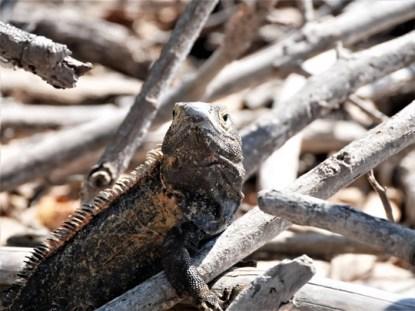 iguana isla iguana panama