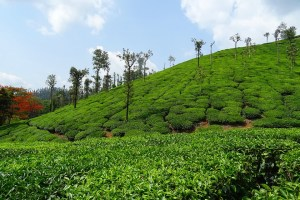 tea plantation Darjeeling