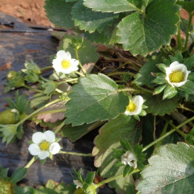 The flowers of the strawberry