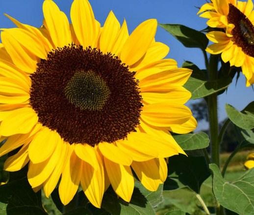 Carilah 3 nama tumbuhan yang mengalami adaptasi tingkah laku dan jelaskan?
