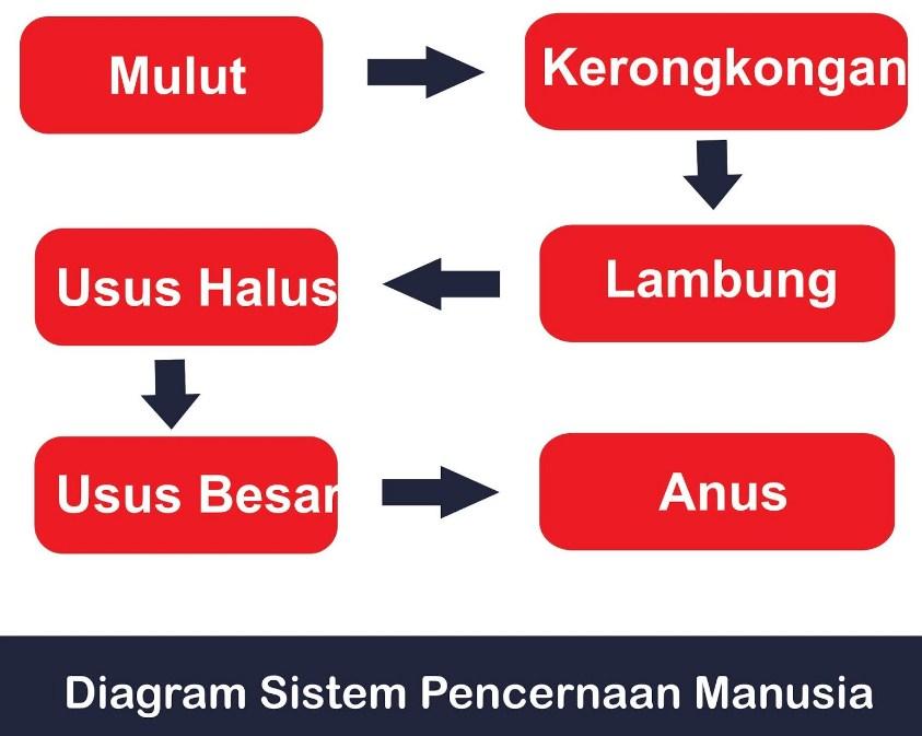 gambar diagram pencernaan manusia