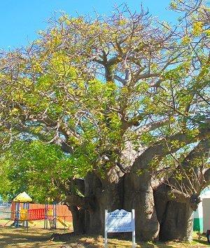 Baobab Queen's Park