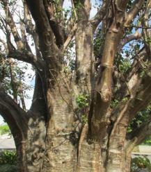 Baobab Barbados
