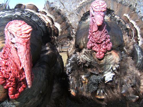 fugly animal turkey disgusting stupid