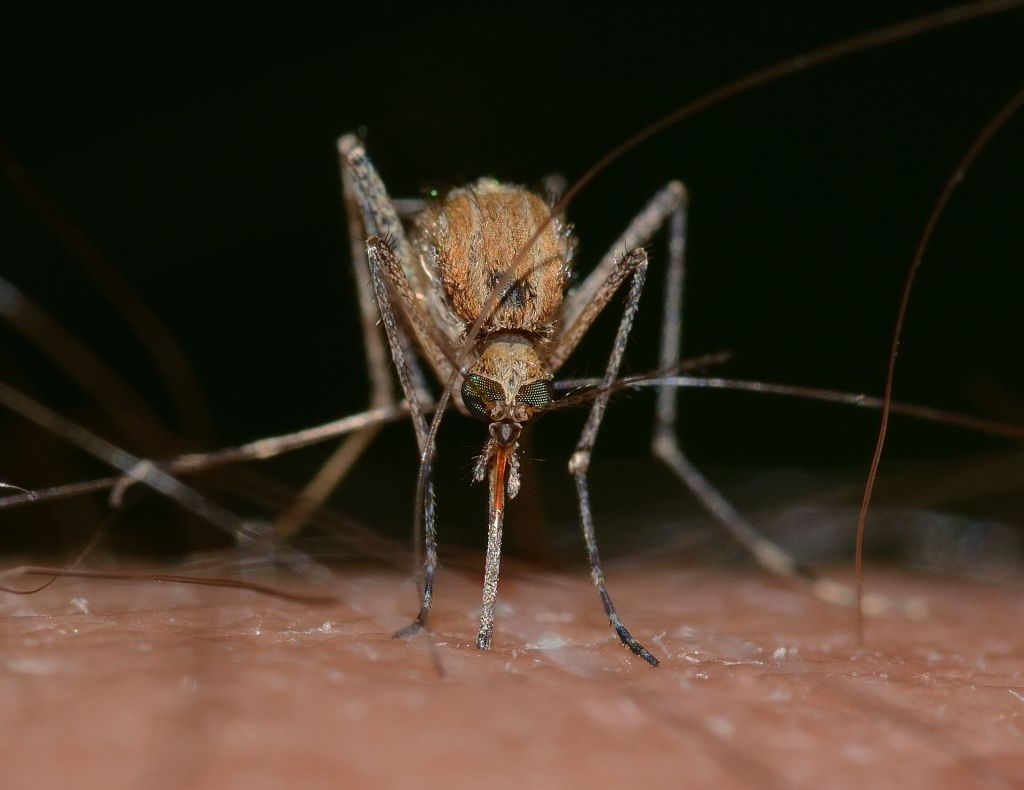 A mosquito biting human skin, illustrating the need for insect repellent