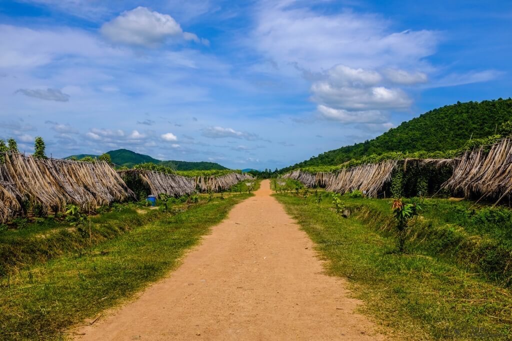Things to do in Kampot cambodia La Plantation Pepper plant rows