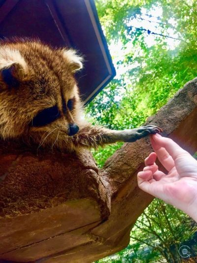 Things to do in Ipoh Lost world of Tambun raccoon