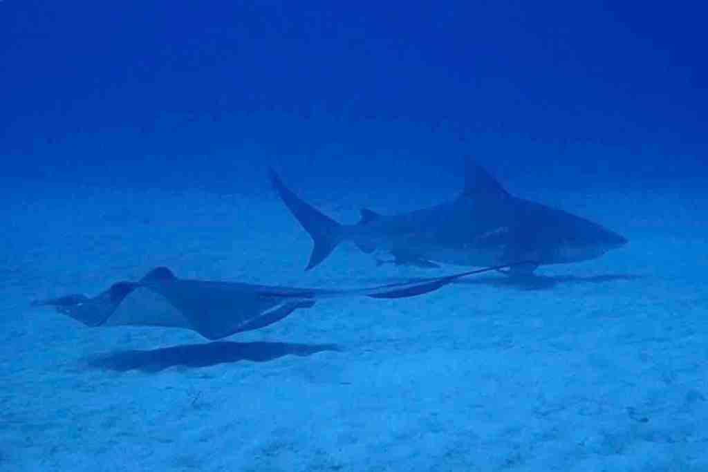 Scuba diving in Playa del Carmen - Bull Shark and Ray