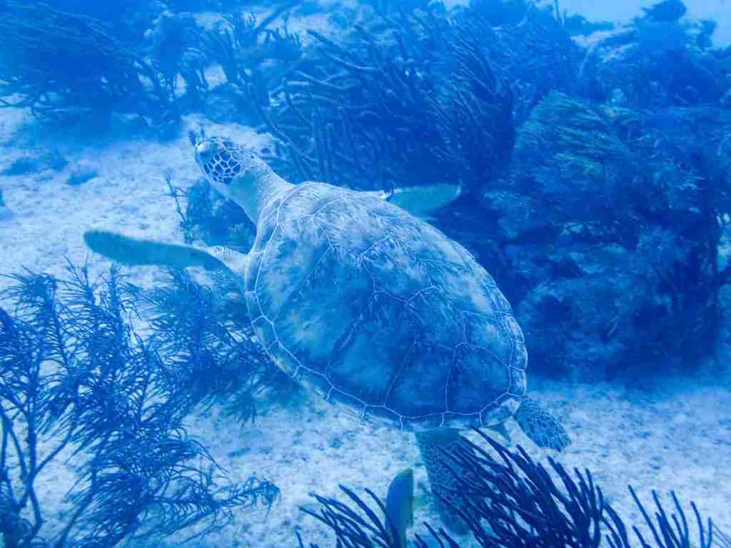 Scuba diving in Playa del Carmen Turtle
