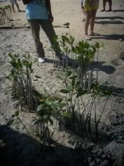 mangrove time13