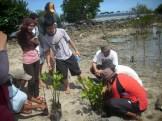 menanam mangrove08