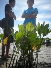 menanam mangrove12