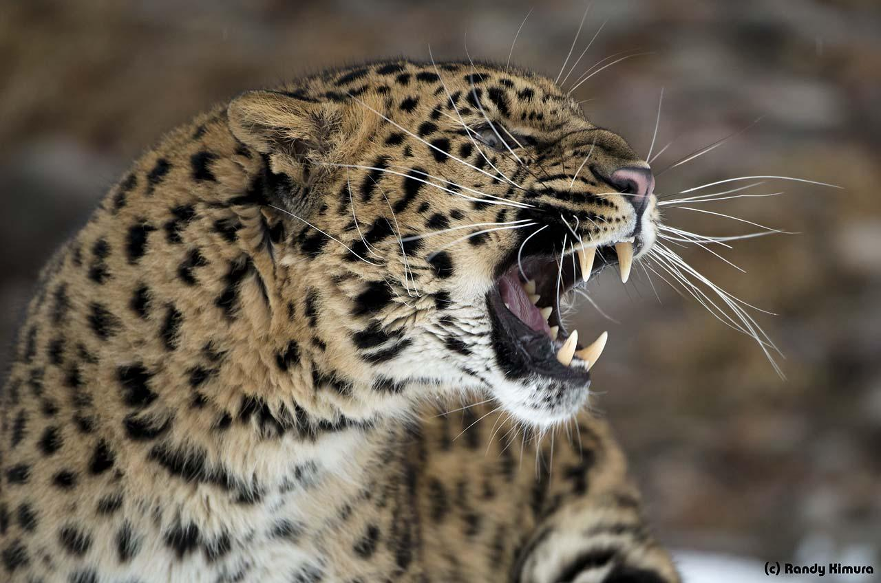 Amur Leopard ~TripleD Wildlife