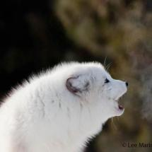 Arctic Fox Howling