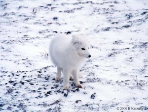 Arctic Fox in Snow Camo