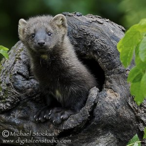 Baby Fisher - peeking from the den