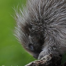 Baby Porcupine TripleD
