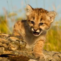 Baby Puma
