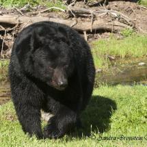 Black Bear ~ TripleD