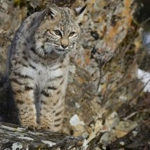 Bobcat on Rocks