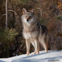 Coyote - TripleD