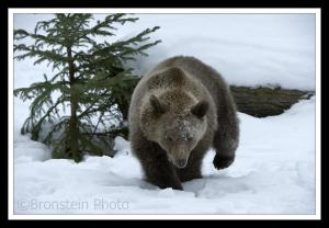 Adult Grizzly Bear Digging in the Snow