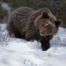 Grizzly Bear in the Snow