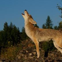 Howling Coyote - TripleD