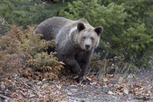 Grizzly Bear Adult Male