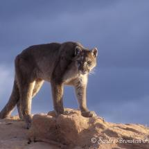 Mountain Lion Croaching