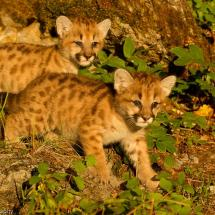 Mountain Lion Kits