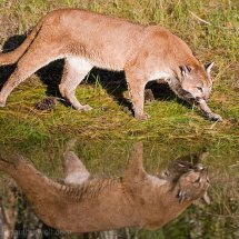 Mountain Lion Reflecting