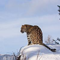 Amur Leopards Winter Hunting- Nick Fucci