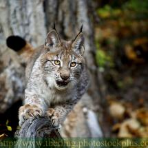 Siberian Lynx TripleD