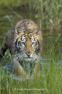 A Stalking Siberian Tiger.