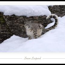 Snow Leopard Picture