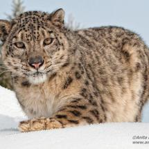 Snow Leopard TripleD