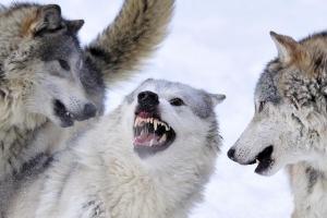 Wolves Pecking Order