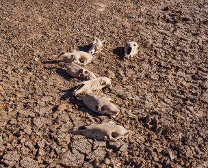 Seven Horse Skulls