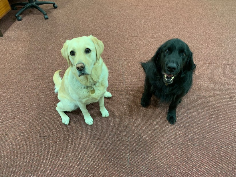 Toffee and Mercer with big smiles at being back in our office at 260 Bath Street.