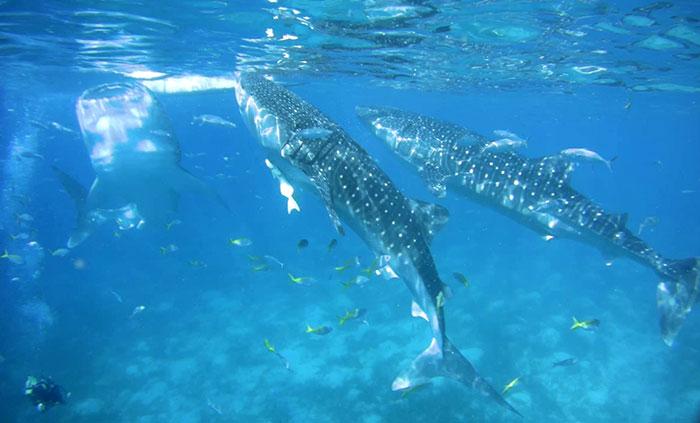 與鯨魚一起潛水,奧斯陸與鯨共遊,宿霧潛水,潛水推薦