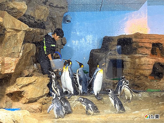 國王企鵝,麥哲倫企鵝