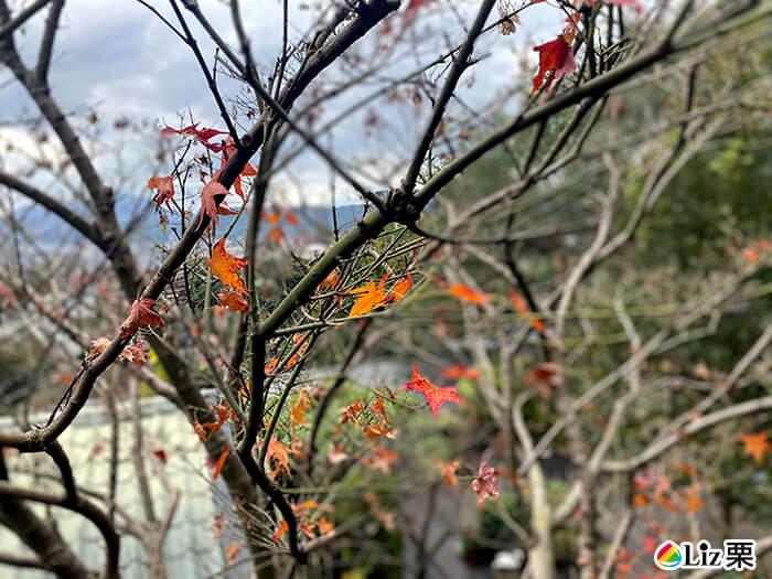 楓葉樹,北投賞楓