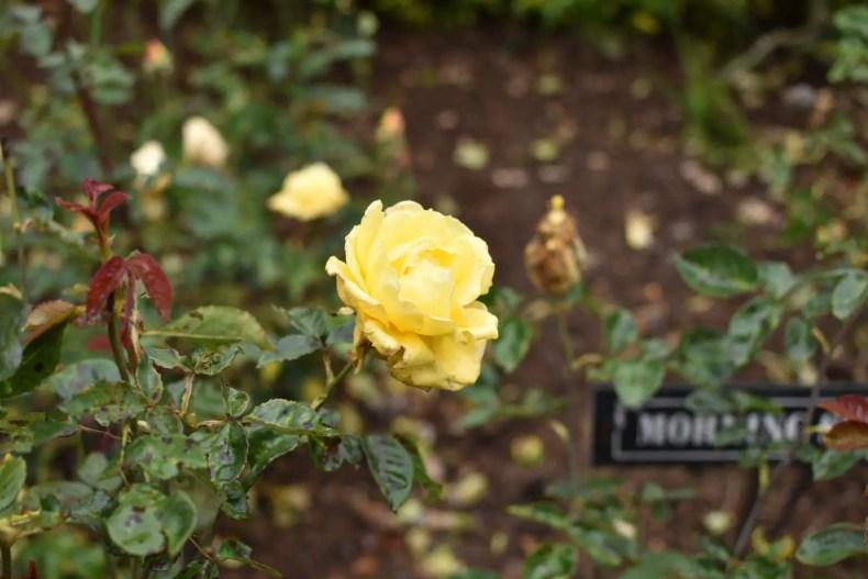 Rose Garden Ooty 19