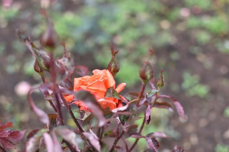 Rose Garden Ooty 24