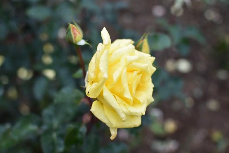 Rose Garden Ooty 9