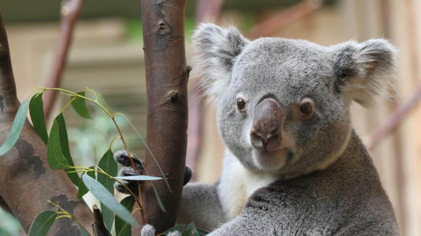 Koalas Edinburgh Zoo